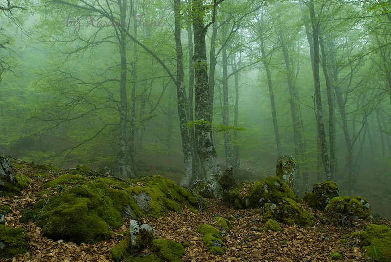 Beech forest in Picos de Europa, northern Spain.