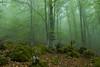 Beech forest in Picos de Europa, northern Spain.
