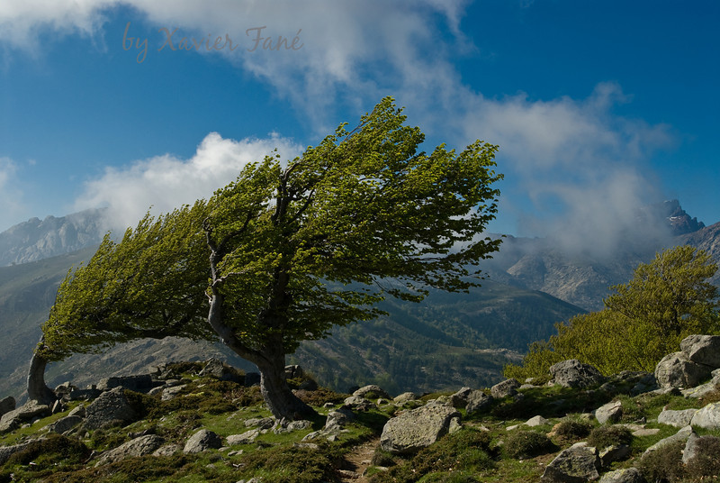 Wind sculpted birches, Corsican Alps.