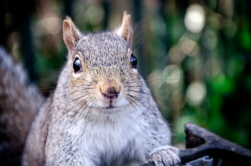 St. James Park Squirrel