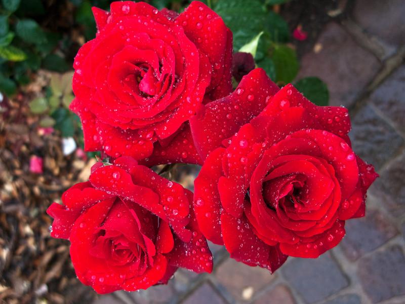 IMG_3737_9 Wertheim Roses