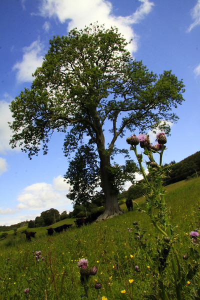 Thistles, Cows and Tree - Scotland