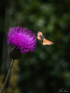 TYROL: Hummingbird Hawk Moth