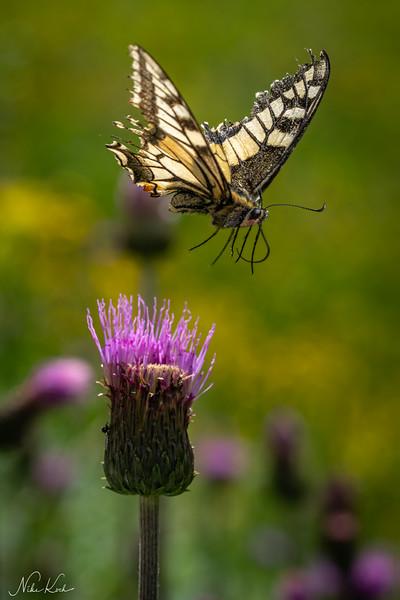 Swallowtail in Flight