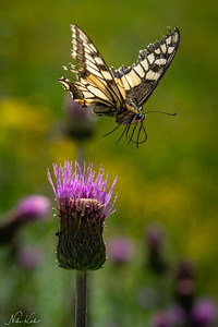 TYROL: Swallowtail