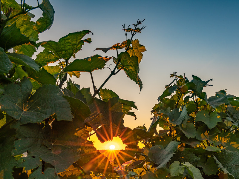 Sunburst Through The Vines (Rheinland Pfalz)
