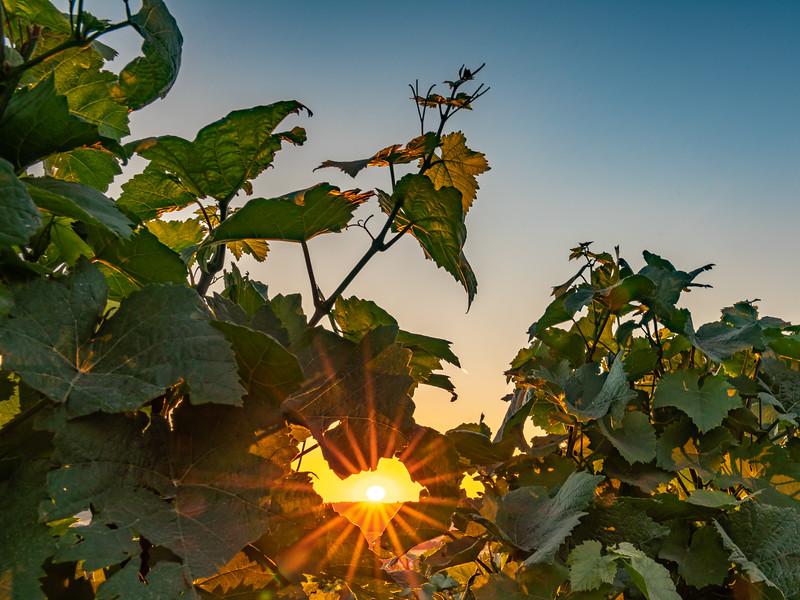 Sunburst Through The Vines (Rheinland Pfalz)