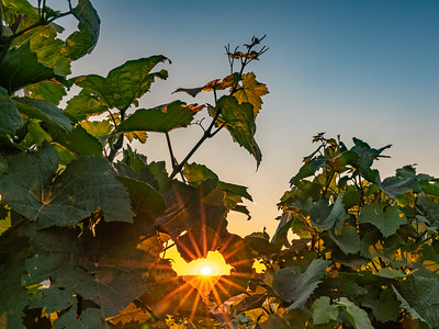 RHEINLAND PFALZ: Vineyard Sunburst