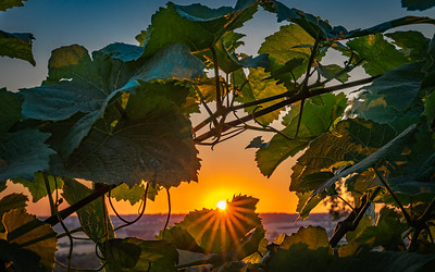 RHEINLAND PFALZ: Sunset through the Vines