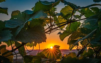 RHEINLAND PFALZ: Sunset through the Vines