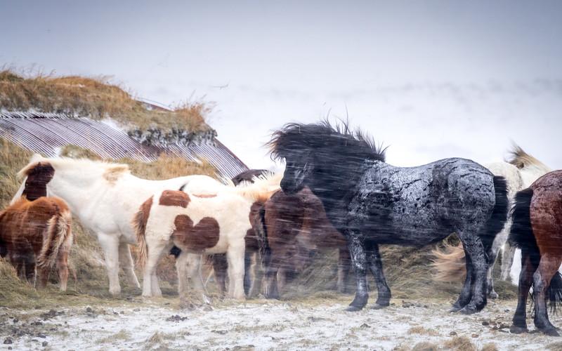 Snow Storm Horses