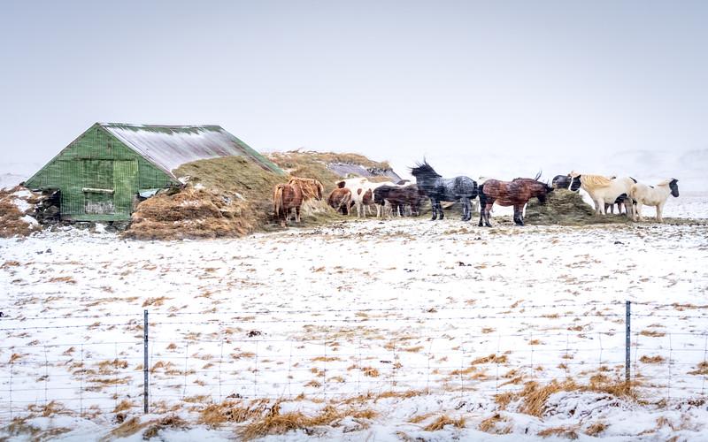 Horses Sheltering