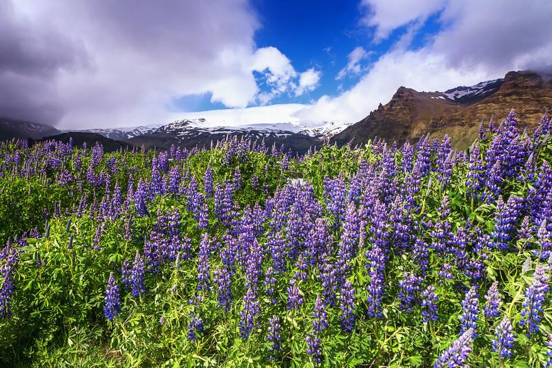 Alaska Lupins at Eyjafjallajokull