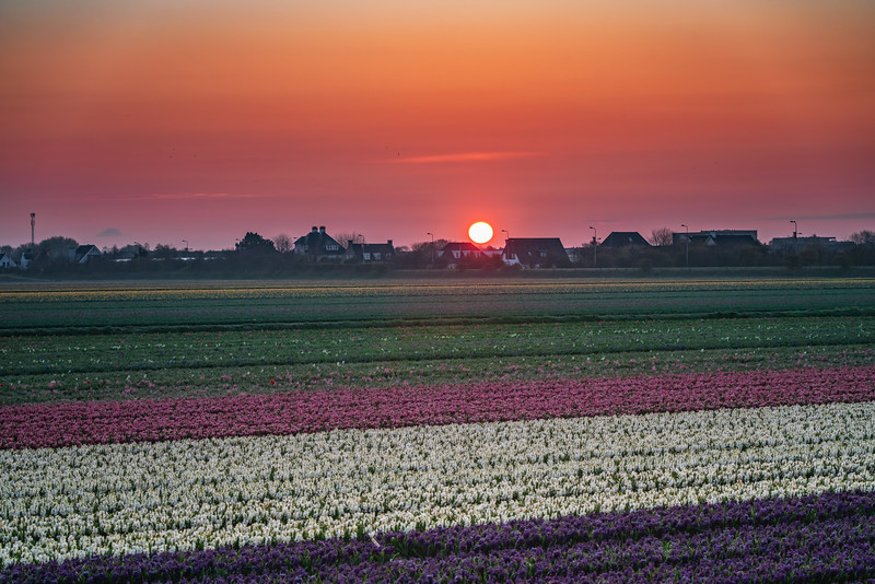 Hyacinth Sunrise