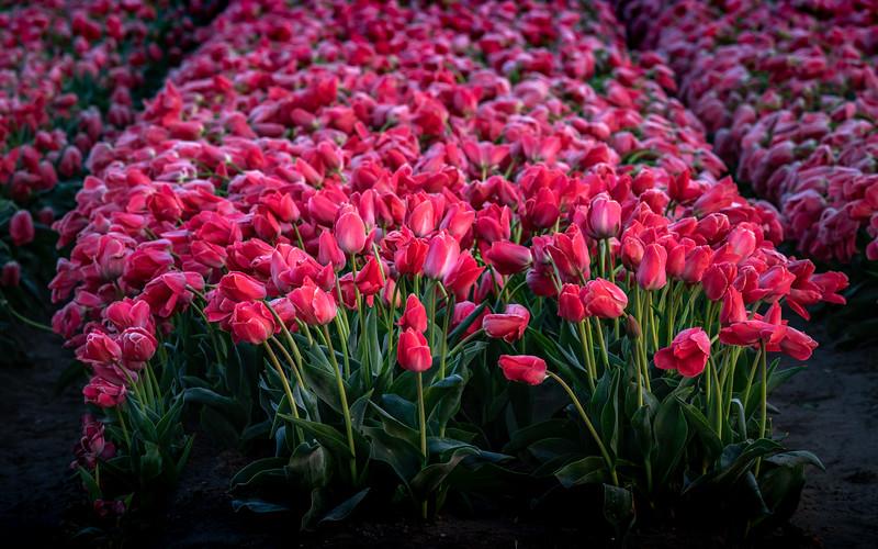 Frosty Tulips #2