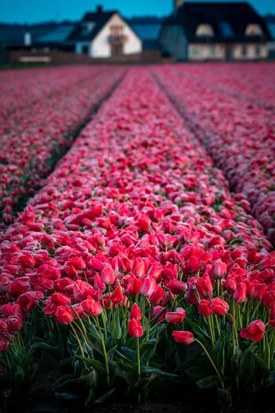 Frosty Tulips #1