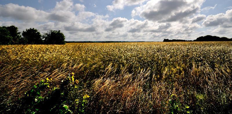 Rye fields, Dąbrówno