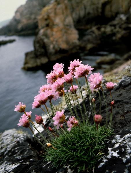 Flowers - Pointe de penhir