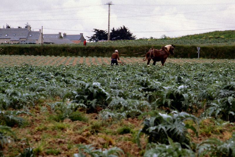 Artichoke Field<br /> <br /> Day 60 (cont) - Farmers are busy everywhere. Men in baggy pants, dirty boots, and berets swing big knives, and toss heads of cauliflower onto a slow moving wagon behind a big tractor. <br /> <br /> In another field, a sturdy man guides a plow behind a massive horse in a field of artichokes.
