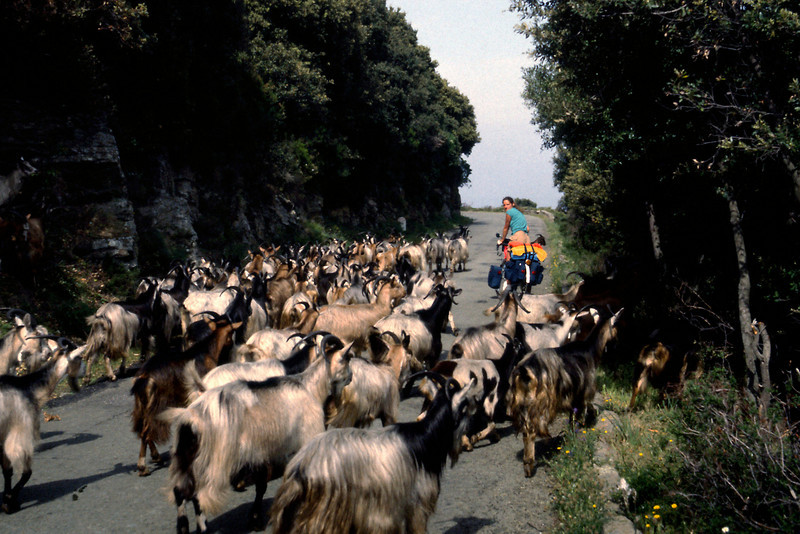 Lisa shares the road with goats.