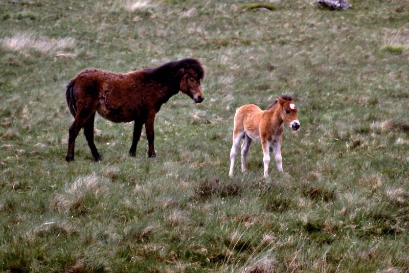 Dartmore Ponies