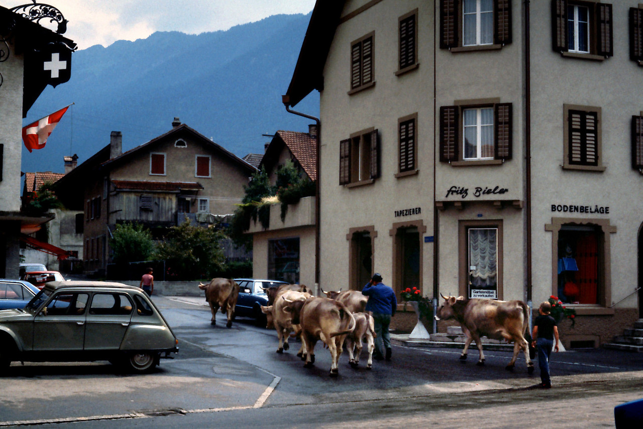 Cows - Bonaduz, Switzerland