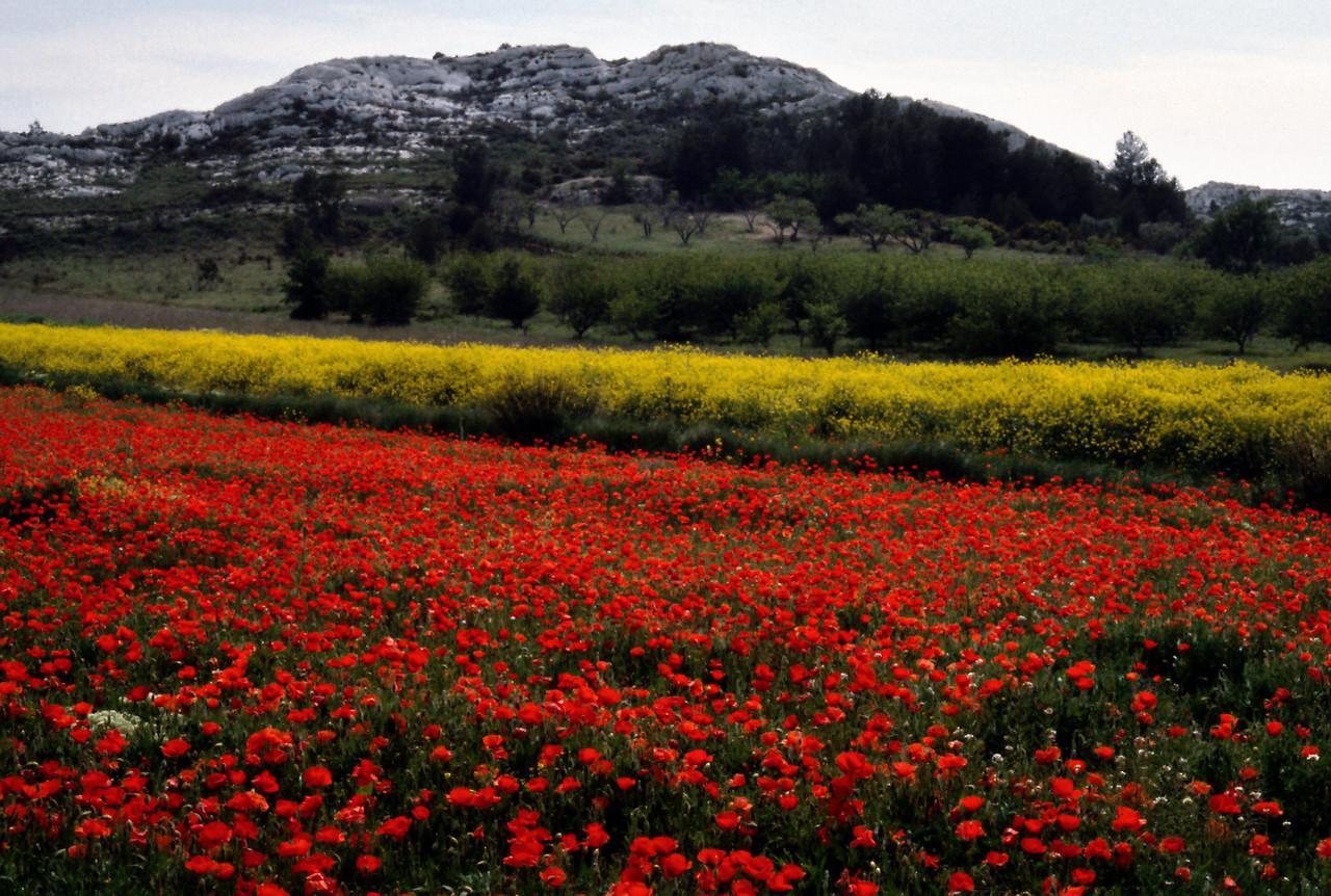 Poppies, near Les Baux