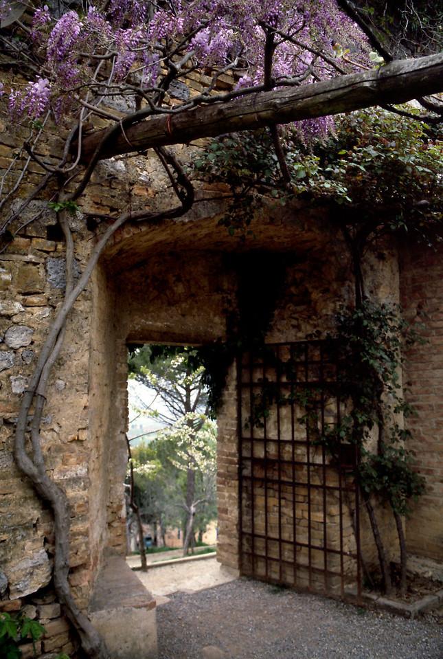 Wisteria - San Gimignano