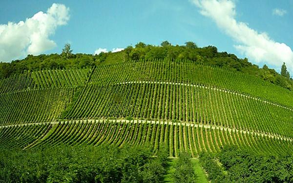 Vineyards everywhere!