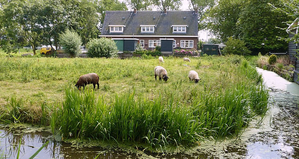 Sheep grazing between houses