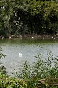 Many swans