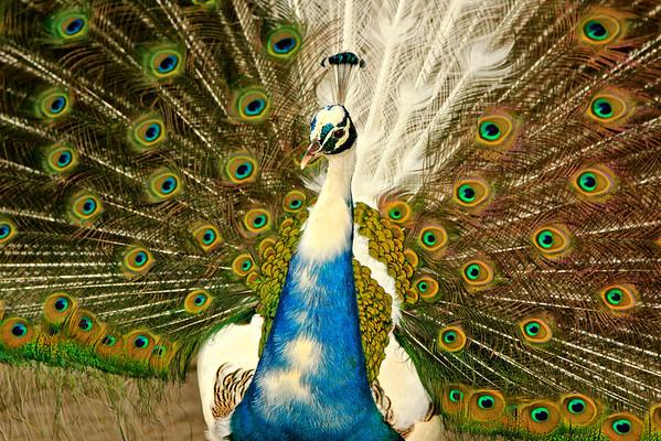 Peacock at Castelo de Sao Jorge