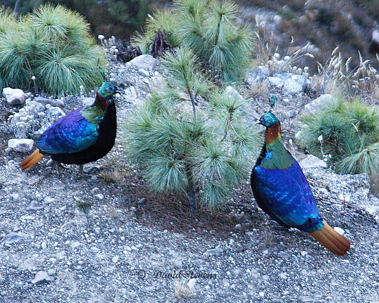 61 National bird Danphe Monal pheasant
