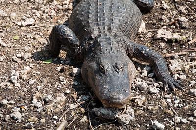 Florida Vacation - March 2011 - Everglades - Alligator