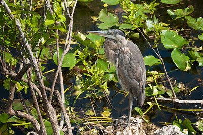 Florida Vacation - March 2011 - Great Blue Heron