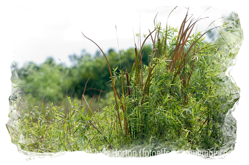 Cattails in the Everglades
