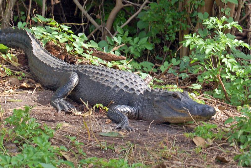 First Alligator
