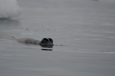 Andy-Kim_Crabeater seal_0019
