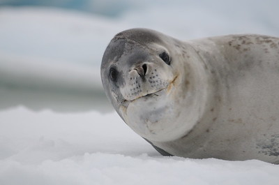 Andy-Kim_Leopard seal_0021