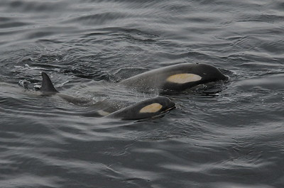 Andy-Kim_Killer whales_0010