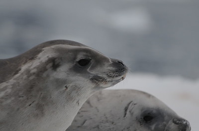 Andy-Kim_Crabeater seal_0018