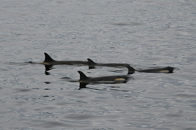Andy-Kim_Killer whales_0009