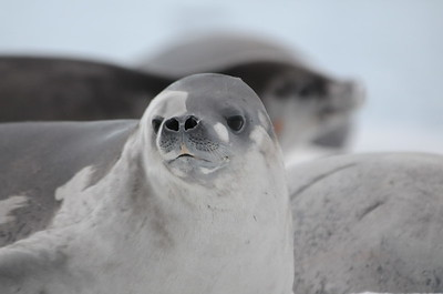 Andy-Kim_Crabeater seal_0017