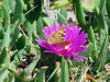 Pigface with butterfly