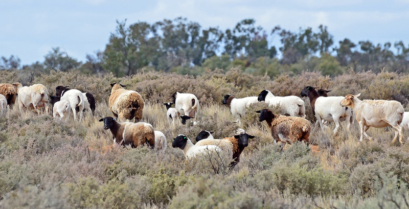 After encountering this flock, we saw several others that consisted of multi-patterned sheep.