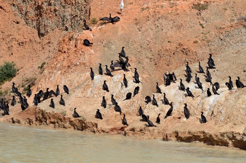 Little Black Cormorants, Great Cormorants, a few Darters, and one headless Egret.<br /> Oops. :)