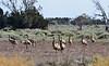 Many Emus.
