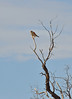 Nankeen Kestrel<br /> You have to supply your own magnifying glass to see this one. I just liked the perch.