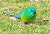 Red-rumped Parrot (male)