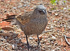 And yet another Apostlebird.  Or, you know, the same one from another angle.